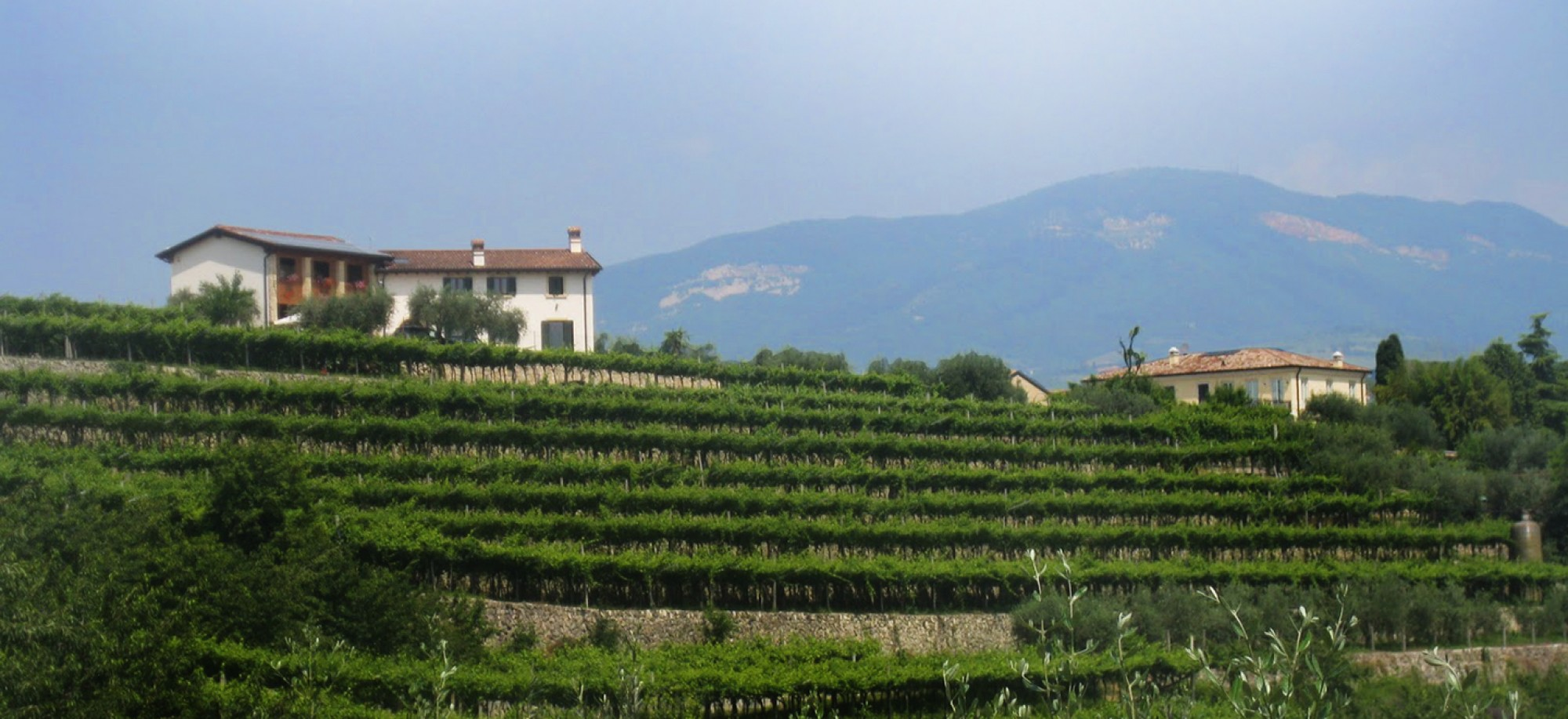 Panorama of the vineyard