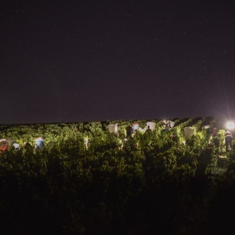 Early morning in the Brocard vineyards
